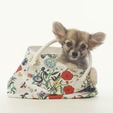 Long-Haired Chihuahua in Tote Bag