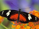 Heliconius Doris in Red Phase Resting on Lantana