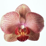 Speckled Orchid