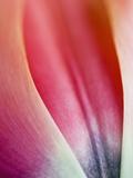 Close-Up of Apricot Impression Tulip