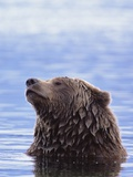 A Brown Bear Emerges from a Lake