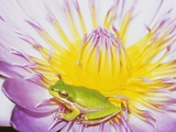 Eastern Dwarf Tree Frog on Blossoming Water Lily