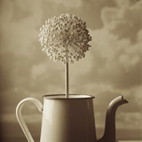 Blooming Allium in Old Metal Coffee Pot