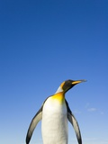 King Penguin Alert and Watchful