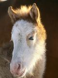 Spanish Mustang Buffalo Horse Foal