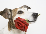 Dog with Red Rose