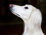 Saluki Looking Up