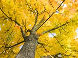 Sycamore Maple Tree