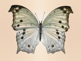 Forest mother-of-pearl butterfly