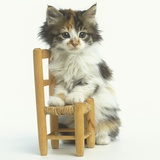 Ragdoll Kitten with Toy Chair