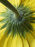 Close-Up of Back of Yellow Gerbera Daisy
