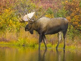 Moose Bull in Pond in Alaska