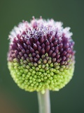 Close-Up of Allium Flower