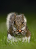 Gray Squirrel Holding Hazelnuts