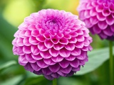 Dahlia &#39;Jayne Stonestreet&#39;