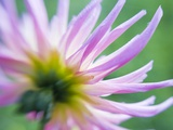 White and Pink Dahlia Flowers