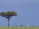 Zebras Walking Past Lone Tree
