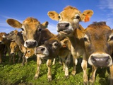 Young Calves in Pasture in New Zealand Papier Photo par John Eastcott & Yva Momatiuk