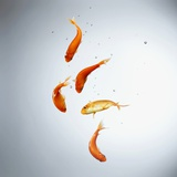 Five goldfish swimming with bubbles