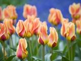 Tulipa 'Mary Ann'