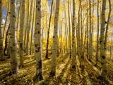 Aspen Trees in Autumn Papier Photo par John Eastcott & Yva Momatiuk