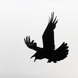 Common Raven Screaming