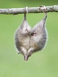 Baby Opossum Hanging from Branch