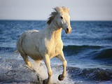 Wild Camargue Horse Running on Beach