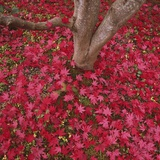 Red Leaves on Ground