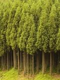 Koya Sugi Cedar Trees