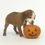 Brown and White Puppy with Halloween Pumpkin