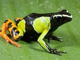 Painted Mantella in Andasibe-Mantadia National Park
