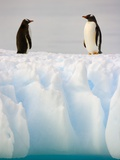 Gentoo Penguins Standing on Ice Floe
