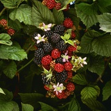 Partly Ripe Blackberries on the Bramble