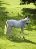 White Stallion in Grass Covered Field