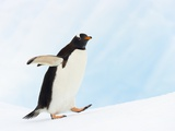 Gentoo Penguin on Iceberg in Gerlache Strait