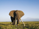 African Elephant with Large Tusks