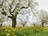 Cherry Trees and Dandelions in Bloom