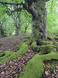Old Tree With Surface Roots in Forest
