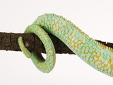 Veiled Chameleon Tail Wrapped Around Twig