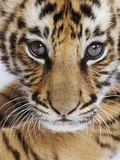 Tiger Cub