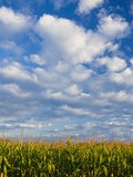 Corn Plants and Sky