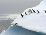 Gentoo Penguin Jumping Off Iceberg in Gerlache Strait