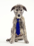 Deer Hound Cross Puppy Wearing Necktie