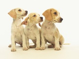 Beagle Puppies Looking Left