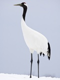 Red-Crowned Crane on Feeding Grounds in Winter