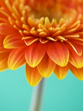 Orange Gerbera Daisy