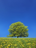European Beech Tree in Meadow of Dandelions