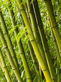 Bamboo plants