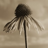 Lone Coneflower